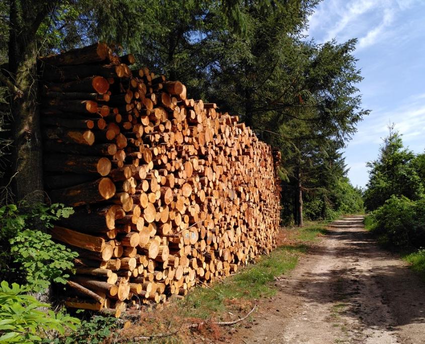 Grumes chemin forestier propice à l'observation de longicornes