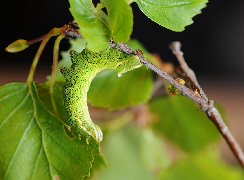 Elevage d'Endromis versicolora