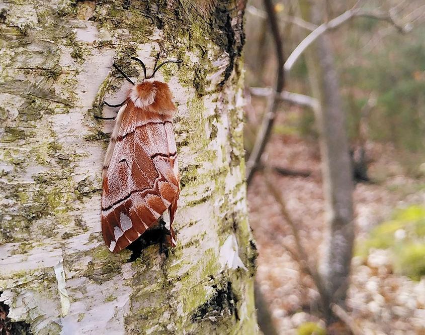 Endromis versicolora femelle