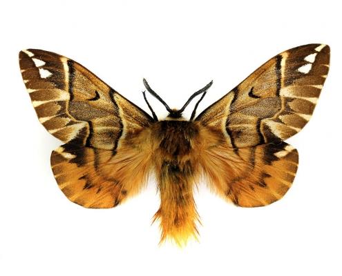 Endromis versicolora mâle