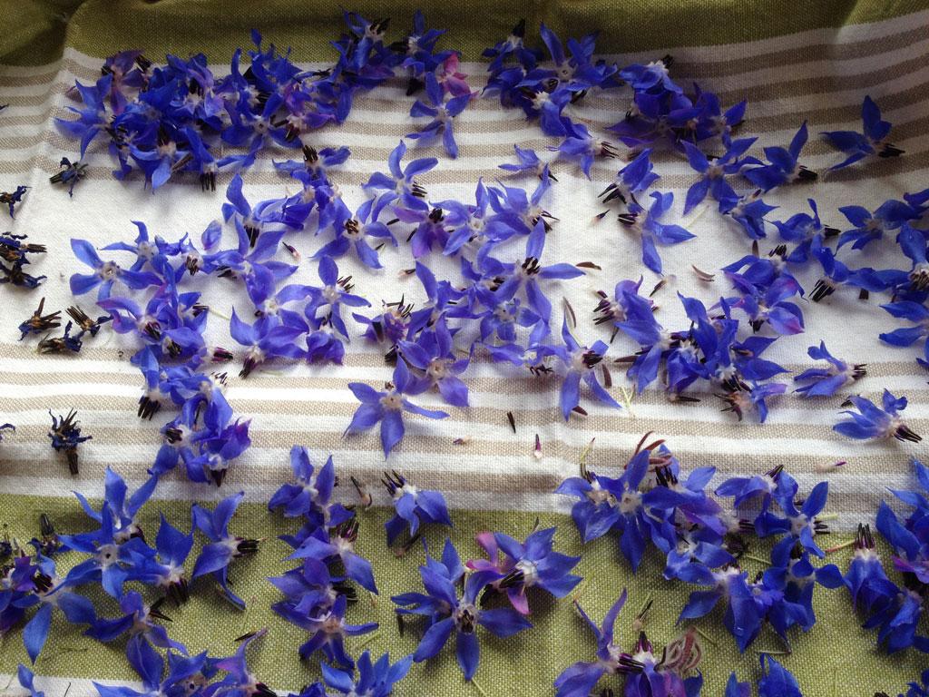 fleurs bourrache
